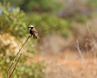 Northern white-crowned shrike Stock Images