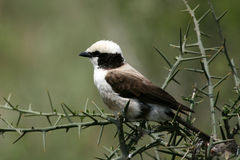 Northern White-crowned Shrike, Africa Royalty Free Stock Image