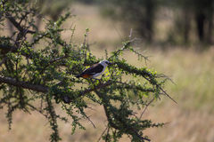 A northern white crowned shrike sitting on a tree branch Stock Images