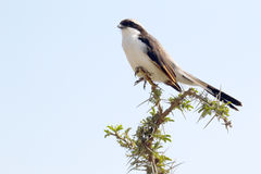Northern white-crowned shrikes perched on a sprig Royalty Free Stock Images