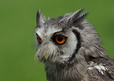 Northern White Faced Owl Royalty Free Stock Image