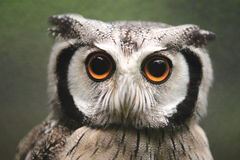 Northern white-faced owl Royalty Free Stock Image