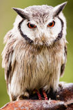 Northern White-faced Owl Otus leucotis Royalty Free Stock Photography