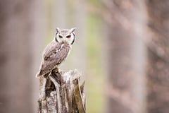 Northern White-faced Owl Otus leucotis Stock Images