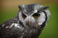 Northern White Faced Owl Royalty Free Stock Photos