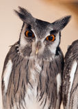 Northern White-faced Owl (Ptilopsis leucotis) Royalty Free Stock Photography