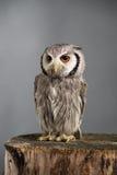 Northern white-faced owl Ptilopsis leucotis studio portrait Royalty Free Stock Images