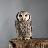 Northern white-faced owl Ptilopsis leucotis studio portrait Stock Photography