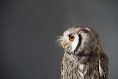 Northern white-faced owl Ptilopsis leucotis studio portrait Stock Photos