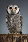 Northern white-faced owl Ptilopsis leucotis studio portrait Royalty Free Stock Photos