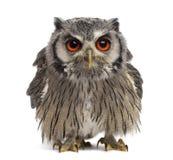 Northern white-faced owl - Ptilopsis leucotis Stock Photos