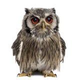 Northern white-faced owl - Ptilopsis leucotis Stock Photo