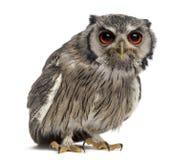 Northern white-faced owl - Ptilopsis leucotis Stock Images