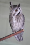 Northern white-faced scops-owl Stock Photography