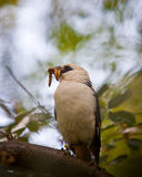 Northern white-headed buffalo weaver. Eating worms Stock Photography