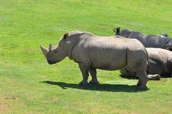 Northern White Rhinoceros. Northern White Rhinos (Ceratotherium simum cottonl) on a grassy plain Stock Photo