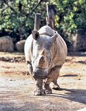 Northern White rhinoceros, Ceratotherium simum cottoni, today only the last two rhinos. One Northern White rhinoceros, Ceratotherium simum cottoni, today only Stock Image