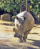 Northern White rhinoceros, Ceratotherium simum cottoni, today only the last two rhinos. One Northern White rhinoceros, Ceratotherium simum cottoni, today only Royalty Free Stock Photo