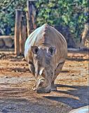 Northern White rhinoceros, Ceratotherium simum cottoni, today only the last two rhinos. One Northern White rhinoceros, Ceratotherium simum cottoni, today only Stock Images