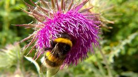 Northern white-tailed bumblebee on thistle flower. In summer in Germany stock footage
