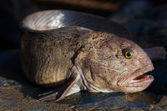 Northern wolffish Stock Image