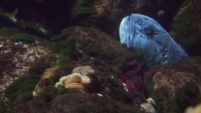 Northern wolffish hid in rocks in a marine aquarium stock footage video. Northern wolffish hid in the rocks in a marine aquarium stock footage video stock video footage