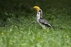 Northern yellow-billed hornbill Royalty Free Stock Images