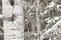 Northern yellow-shafted flicker Stock Images