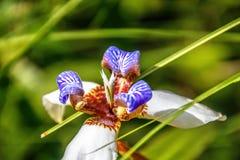 Northiana de Neomarica, íris de passeio no jardim fotografia de stock