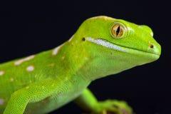Northland green gecko Naultinus grayii Royalty Free Stock Image