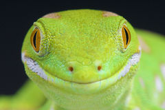 Northland green gecko / Naultinus grayii. The Northland green gecko is a diurnal lizard species endemic to the northland of New Zealand. The bright colors are Stock Images