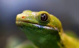 Northland Green Gecko.NZ Stock Photos