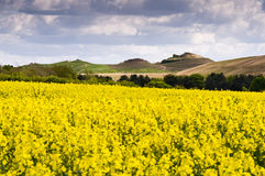 Northumberlandia över rapeseedfält royaltyfria foton