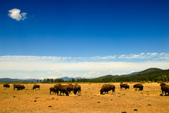 Northwest buffaloes. Kallispel tribe ground Stock Photo
