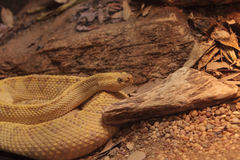 Northwest neotropical rattlesnake known as Crotalus culminatus Stock Photos