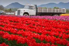 Northwest Tulip Harvest Stock Photos