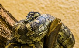 Northwestern carpet python coiled up on a branch in closeup, tropical snake specie from Australia. A Northwestern carpet python coiled up on a branch in closeup stock photo