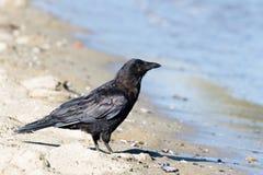 Northwestern crow Royalty Free Stock Image