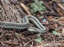 Northwestern Garter Snake Closeup Stock Photo
