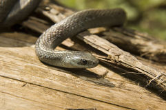 Northwestern Garter Snake Stock Photo