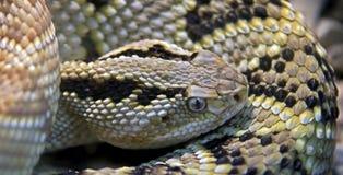 Northwestern neotropical rattlesnake 1. Northwestern neotropical rattlesnake. Latin name - Crotalus simus culminatus Stock Image