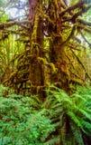 Northwestern rainforest Royalty Free Stock Photography