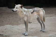 Northwestern wolf Canis lupus occidentalis Royalty Free Stock Photography
