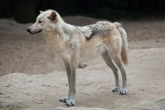 Northwestern wolf Canis lupus occidentalis Stock Images