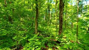 Northwoods Forest Landscape stock footage
