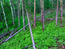 Northwoods Michigan Forest Landscape Royalty Free Stock Photography