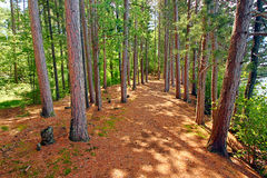 Northwoods Wisconsin Pine Forest Stock Image