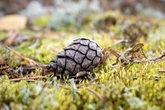 Noruega cerca de Oslo, cono del pino marrón que miente en la hierba Imagenes de archivo