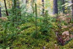 Noruega cerca de Oslo; pequeño anillo del pino por pinos más pequeños, en un musgo molido en el bosque Fotografía de archivo