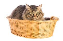 Noruego del gato grande, felino con el pelo largo, en cesta foto de archivo